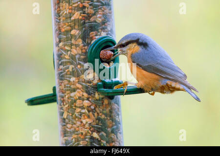 Eurasian nuthatch (Sitta europaea), getting a nut out of a tube seed feeder, side view, Germany, Bavaria, Niederbayern, - Stock Photo