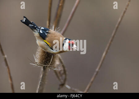 Eurasian goldfinch (Carduelis carduelis), feeding ob seeds of teazle, Germany - Stock Photo