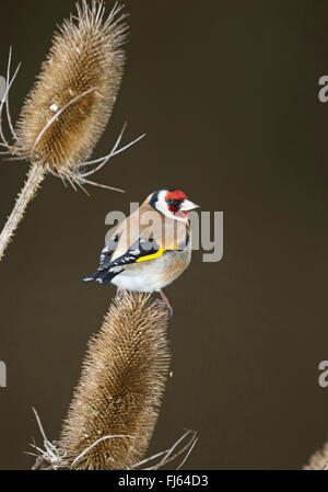 Eurasian goldfinch (Carduelis carduelis), sitting on infructescence of teazle, Germany - Stock Photo