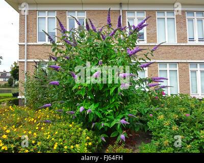 orange eye butterfly bush violet butterfly bush buddleja. Black Bedroom Furniture Sets. Home Design Ideas