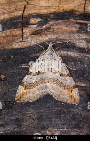 Treble-bar, St. John's Wort Inchworm (Aplocera spec., Anaitis spec., Aplocera plagiata oder Aplocera efformata), - Stock Photo