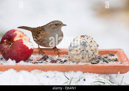 dunnock (Prunella modularis), feeding handmade birdfeed in the snow, apple and fat ball, Germany - Stock Photo