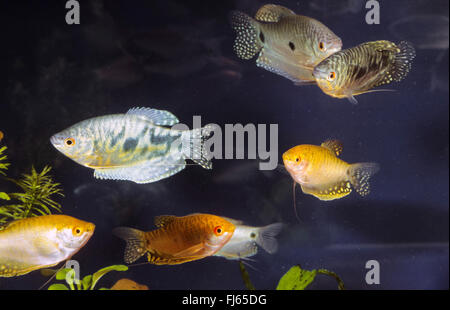 Cosby gourami and Gold gourami (Trichogaster trichopterus cosby und gold), school of fishes - Stock Photo