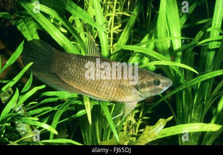 Mouthbrooding fighting fish, Penang betta (Betta pugnax, Macropodus pugnax, Betta macrophthalma, Betta brederi), - Stock Photo