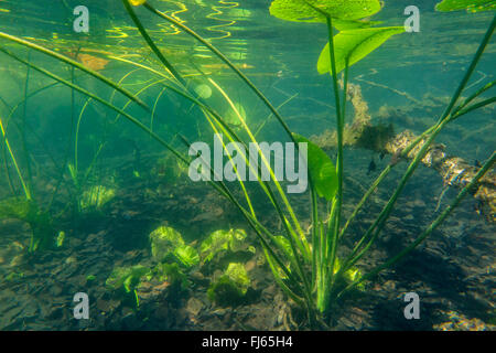 European yellow pond-lily, Yellow water-lily (Nuphar lutea), underwater photo, Germany, Bavaria, Langbuergener See - Stock Photo