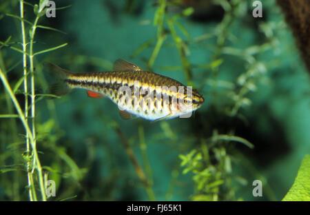 Cherry barb (Barbus titteya, Puntius titteya), swimming - Stock Photo