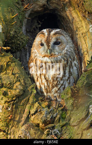 Eurasian tawny owl (Strix aluco), sits in a tree hole, Germany, North Rhine-Westphalia - Stock Photo