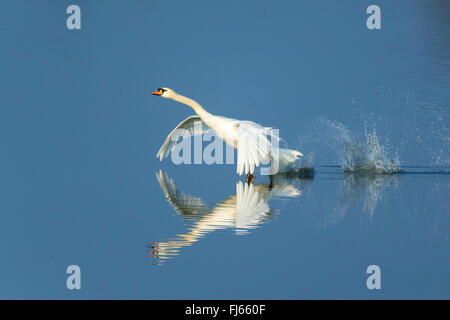 mute swan (Cygnus olor), takes off the water, Germany - Stock Photo