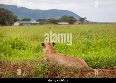 lion (Panthera leo), lioness looks to a settlement, South Africa - Stock Photo