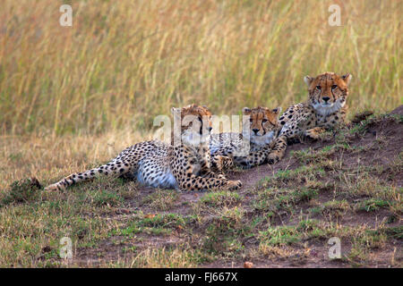 cheetah (Acinonyx jubatus), three cheetahs rest in savannah, Kenya, Masai Mara National Park - Stock Photo