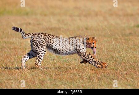 cheetah (Acinonyx jubatus), runs away with part of a cadaver in its mouth, Kenya, Masai Mara National Park - Stock Photo