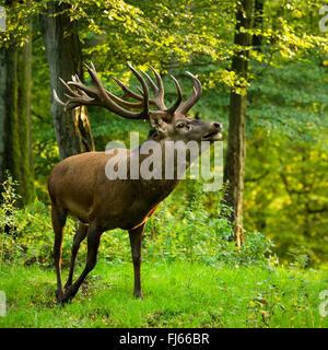 red deer (Cervus elaphus), stag in forest, Germany - Stock Photo