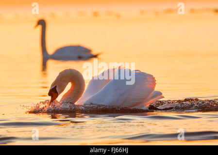 mute swan (Cygnus olor), threatening male in the evening light, Germany, Bavaria, Lake Chiemsee - Stock Photo