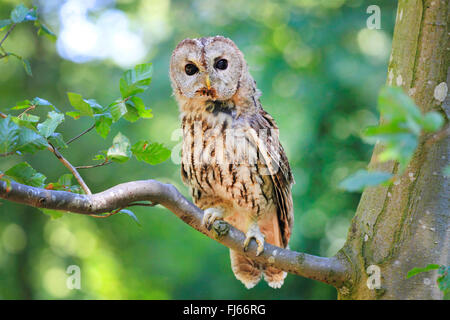 Eurasian tawny owl (Strix aluco), sits on a branch, Germany - Stock Photo