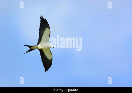 swallow-tailed kite (Elanoides forficatus), in flight, USA, Florida - Stock Photo