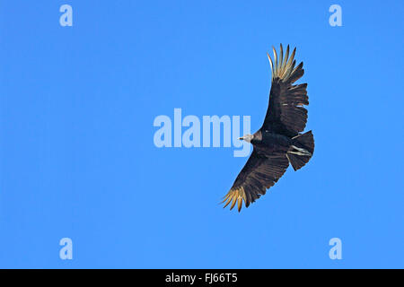 American black vulture (Coragyps atratus), in flight, USA, Florida, Gatorland - Stock Photo