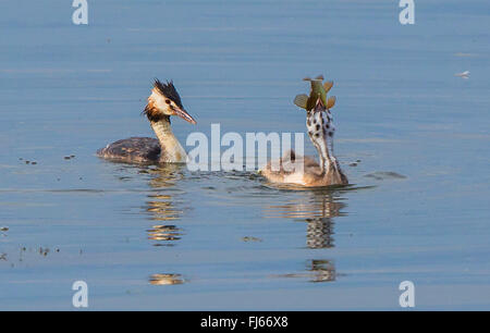 great crested grebe (Podiceps cristatus), juvenile was fed by an adult with a large tench, Germany, Bavaria - Stock Photo