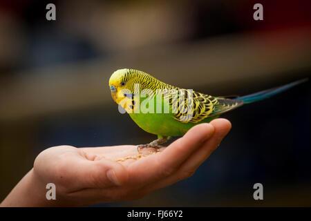 budgerigar, budgie, parakeet (Melopsittacus undulatus), gentle budgie sitting on a hand, side view - Stock Photo