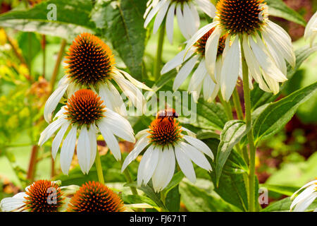White Cone Flower (Echinacea purpurea 'Alba', Echinacea purpurea Alba), blooming - Stock Photo