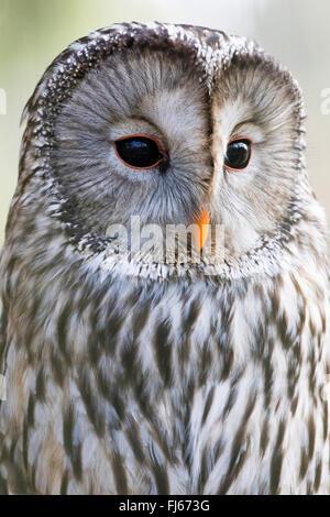 ural owl (Strix uralensis), half-length portrait, side view - Stock Photo