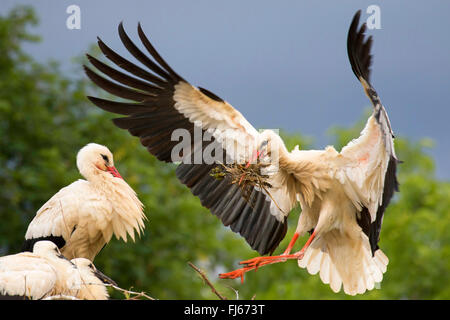 white stork (Ciconia ciconia), landing on the nest with young birds with nesting material in the bill, France, Alsace - Stock Photo