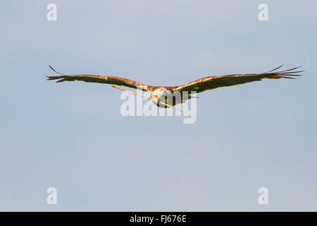 Western Marsh Harrier (Circus aeruginosus), female flying with nesting material in the bill, Germany, Bavaria, Oberbayern, - Stock Photo