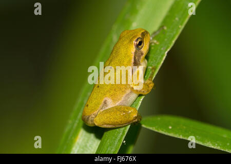 European treefrog, common treefrog, Central European treefrog (Hyla arborea), juvenile, after the end of the metamorphosis, - Stock Photo
