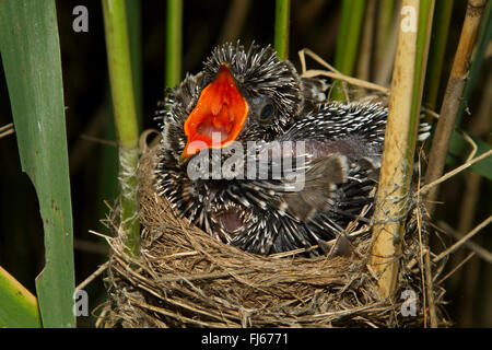 Eurasian cuckoo (Cuculus canorus), seven days old cuckoo in a reed warbler nest, threatening, Germany, Bavaria, - Stock Photo