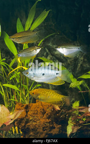 Gold Gourami (Trichogaster trichopterus gold), with Pearl gourami, Trichogaster leeri - Stock Photo