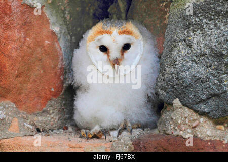 Barn owl (Tyto alba), juvenile, Germany - Stock Photo