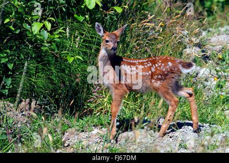 mule deer, black-tailed deer (Odocoileus hemionus), fawn, Canada, British Columbia, Vancouver Island - Stock Photo
