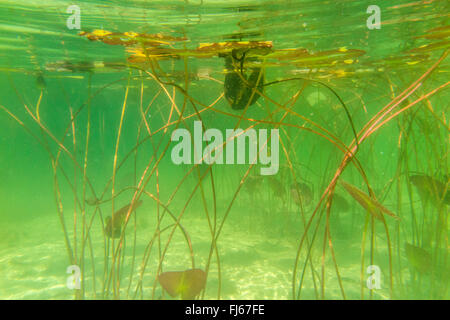 white water-lily, white pond lily (Nymphaea alba), underwater photo of water-lilies, Germany, Bavaria, Langbuergener - Stock Photo