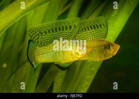 Sailfin molly, Marbeled Molly (Mollienesia latipinna, Poecilia latipinna), displaying males - Stock Photo