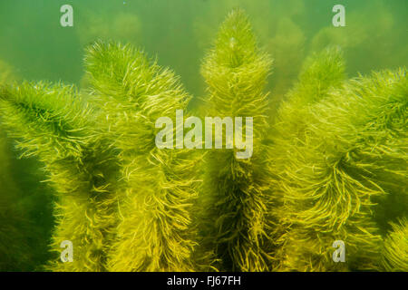 mare's tail, common mare's tail (Hippuris vulgaris), underwater photo, Germany, Bavaria - Stock Photo