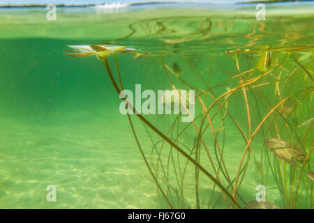 white water-lily, white pond lily (Nymphaea alba), underwater photo of a water-lily, Germany, Bavaria, Langbuergener - Stock Photo