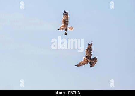 Western Marsh Harrier (Circus aeruginosus), male presenting the female the prey in flight , Germany, Bavaria, Oberbayern, - Stock Photo