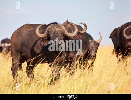 African buffalo (Syncerus caffer), herd in savannah, Kenya, Masai Mara National Park - Stock Photo