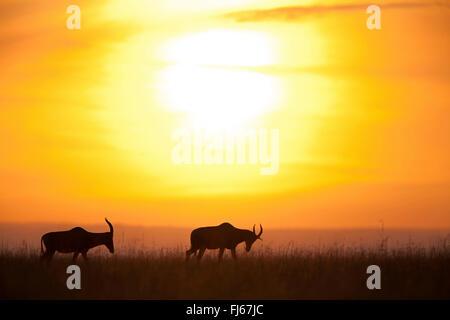topi, tsessebi, korrigum, tsessebe (Damaliscus lunatus jimela), silhouettes of two topis at sunset, Kenya, Masai - Stock Photo
