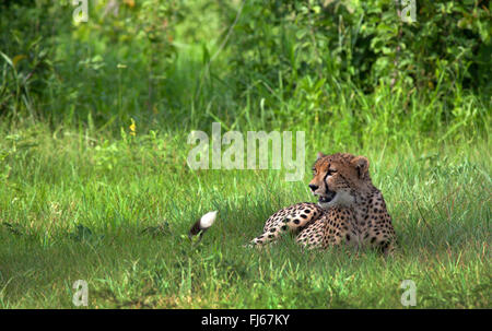cheetah (Acinonyx jubatus), rests in grass, Tanzania - Stock Photo