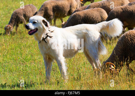 livestock guardian dog with prong collar tending a flock of sheep, Germany - Stock Photo