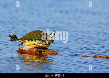 Florida redbelly turtle, Florida red-bellied turtle (Pseudemys rubriventris nelsoni, Chrysemys nelsoni, Pseudemys - Stock Photo