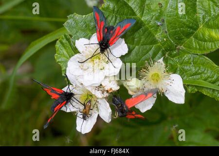 Woodland Burnet (Zygaena osterodensis, Zygaena scabiosae), three woodland burnets on white blossoms, Germany - Stock Photo