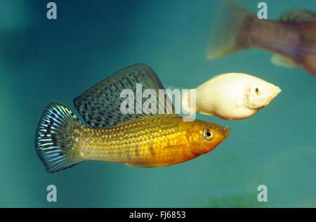Giant sailfin molly, Sail-fin molly, Red sailfin molly, Yucatan Molly (Poecilia velifera, Mollienesia velifera), - Stock Photo