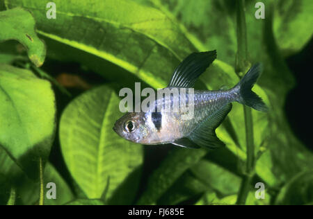 Black phantom tetra (Hyphessobrycon megalopterus, Megalamphodus rogoaguae, Megalamphodus megalopterus), swimming - Stock Photo
