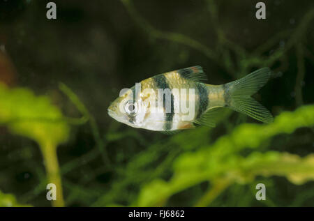 Sumatra barb, tiger barb (Puntius tetrazona, Barbus tetrazona), swimming - Stock Photo