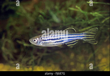 Zebra danio, Zebrafish (Brachydanio rerio, Danio rerio), swimming - Stock Photo