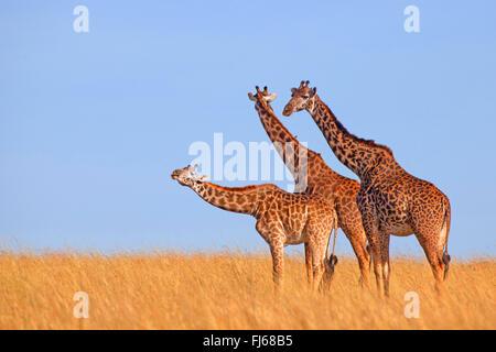 Masai giraffe (Giraffa camelopardalis tippelskirchi), three giraffes in savannah, Kenya, Masai Mara National Park - Stock Photo