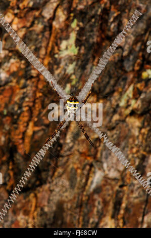 Argiope Spider (Argiope spec.), spider in its web, New Caledonia, Ile  des Pins - Stock Photo
