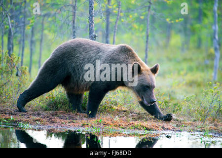 European brown bear (Ursus arctos arctos), walking on the lakefront in a forest, Finland, Kajaani Region Kuhmo, - Stock Photo