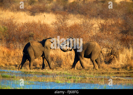 African elephant (Loxodonta africana), two young animals playing at a water place, South Africa, North West Province, - Stock Photo